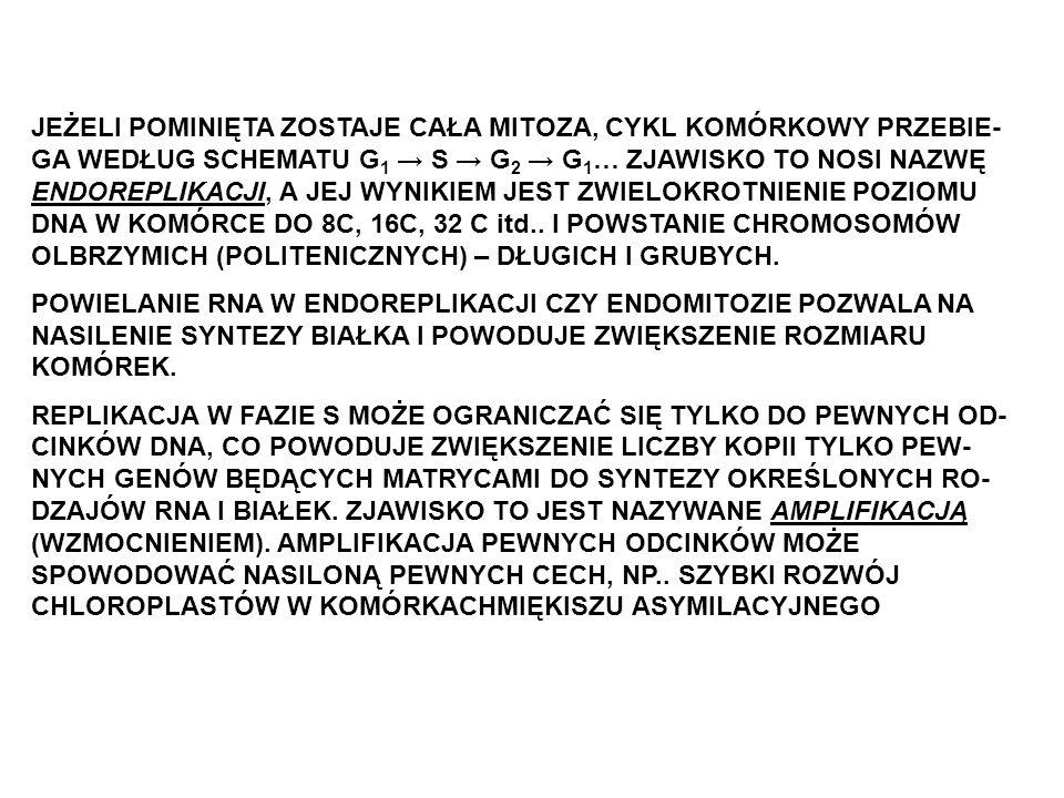 JEŻELI POMINIĘTA ZOSTAJE CAŁA MITOZA, CYKL KOMÓRKOWY PRZEBIE-GA WEDŁUG SCHEMATU G1 → S → G2 → G1… ZJAWISKO TO NOSI NAZWĘ ENDOREPLIKACJI, A JEJ WYNIKIEM JEST ZWIELOKROTNIENIE POZIOMU DNA W KOMÓRCE DO 8C, 16C, 32 C itd.. I POWSTANIE CHROMOSOMÓW OLBRZYMICH (POLITENICZNYCH) – DŁUGICH I GRUBYCH.