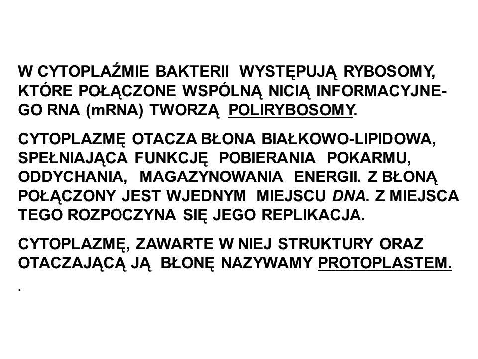 W CYTOPLAŹMIE BAKTERII WYSTĘPUJĄ RYBOSOMY, KTÓRE POŁĄCZONE WSPÓLNĄ NICIĄ INFORMACYJNE-GO RNA (mRNA) TWORZĄ POLIRYBOSOMY.