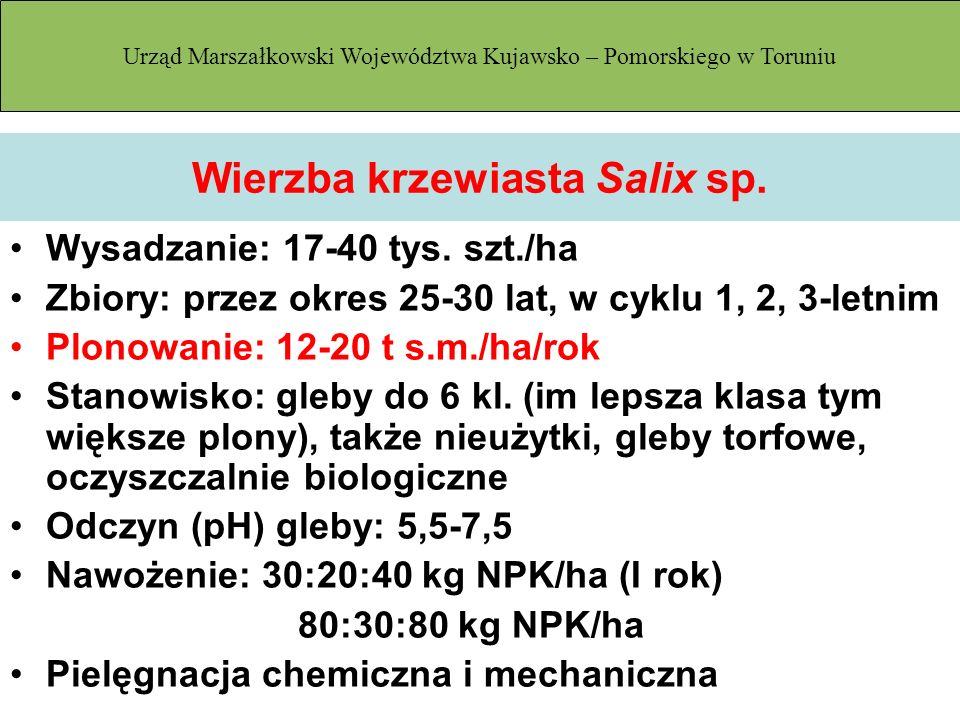 Wierzba krzewiasta Salix sp.