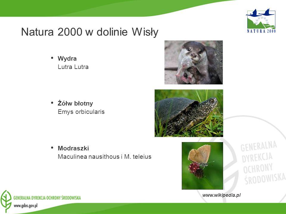 Natura 2000 w dolinie Wisły Wydra Lutra Lutra