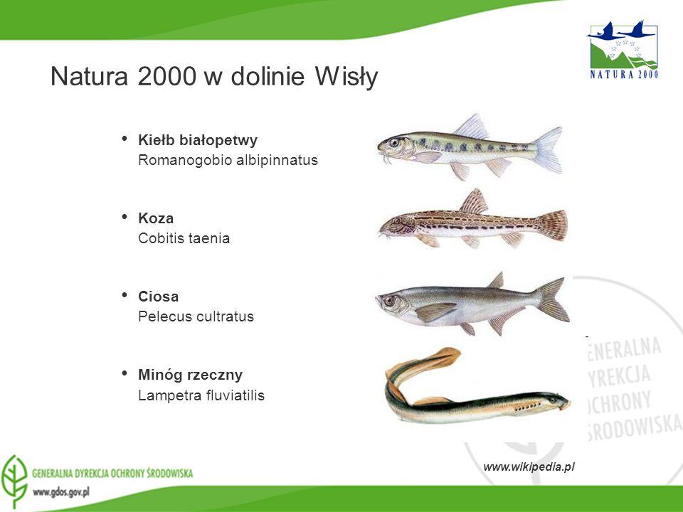 Natura 2000 w dolinie Wisły Kiełb białopetwy Romanogobio albipinnatus