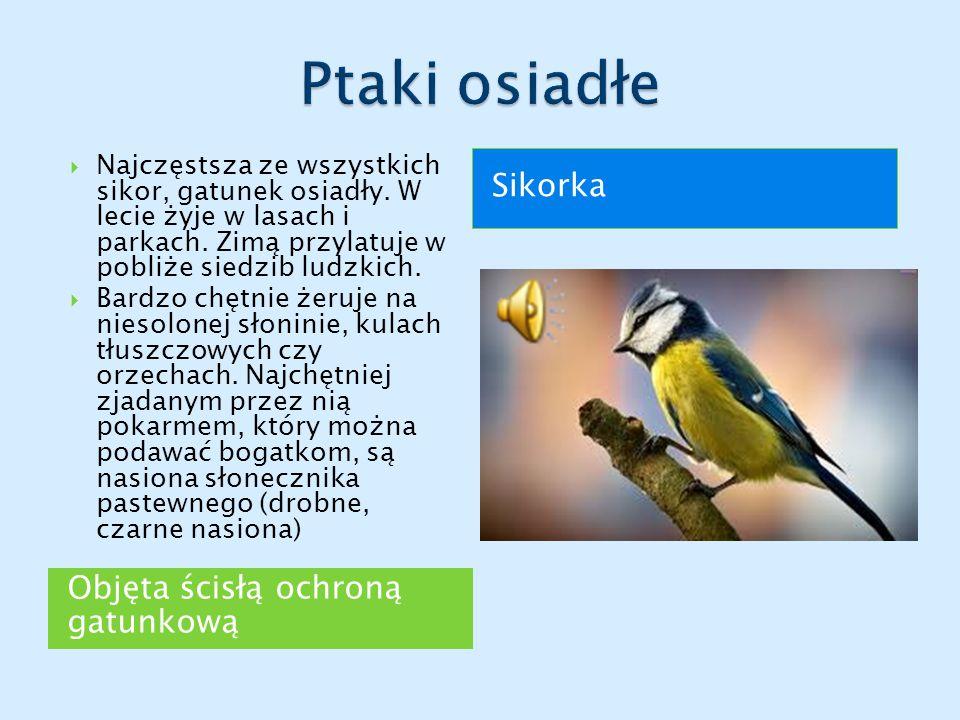Ptaki osiadłe Sikorka Objęta ścisłą ochroną gatunkową