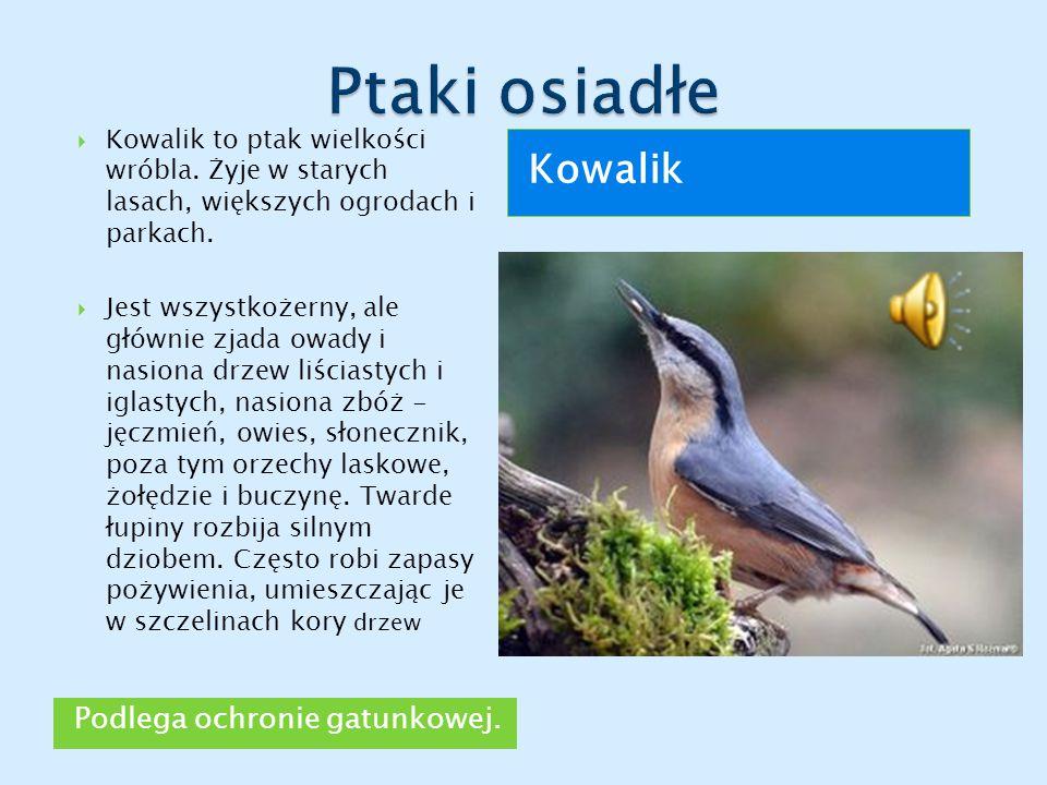 Ptaki osiadłe Kowalik Podlega ochronie gatunkowej.