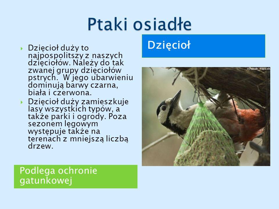 Ptaki osiadłe Dzięcioł Podlega ochronie gatunkowej