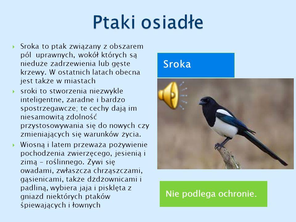 Ptaki osiadłe Sroka Nie podlega ochronie.