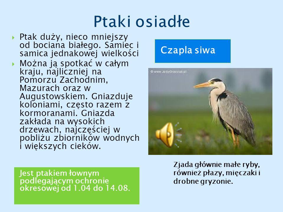 Ptaki osiadłe Czapla siwa