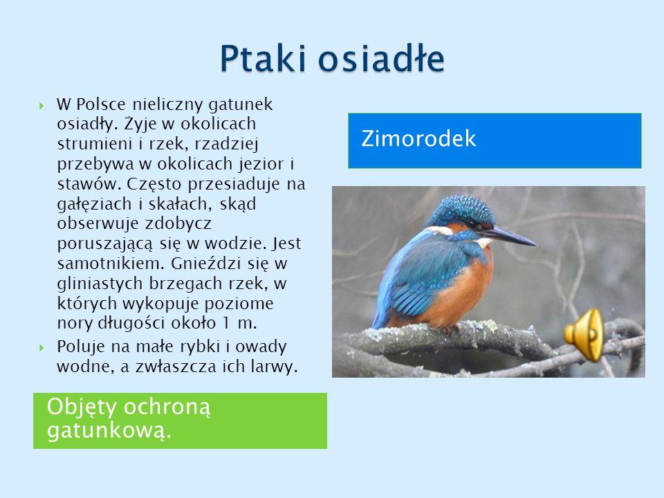Ptaki osiadłe Zimorodek Objęty ochroną gatunkową.