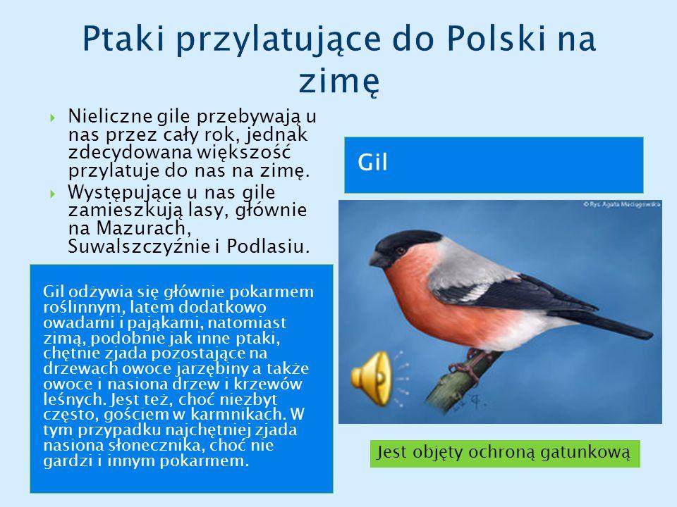 Ptaki przylatujące do Polski na zimę
