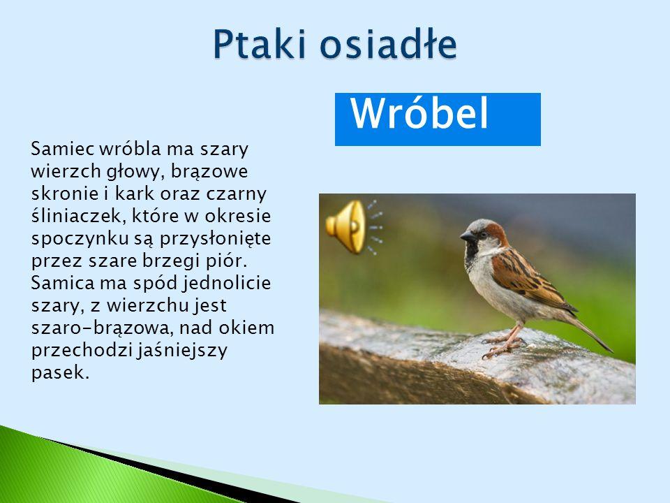 Ptaki osiadłe Wróbel.