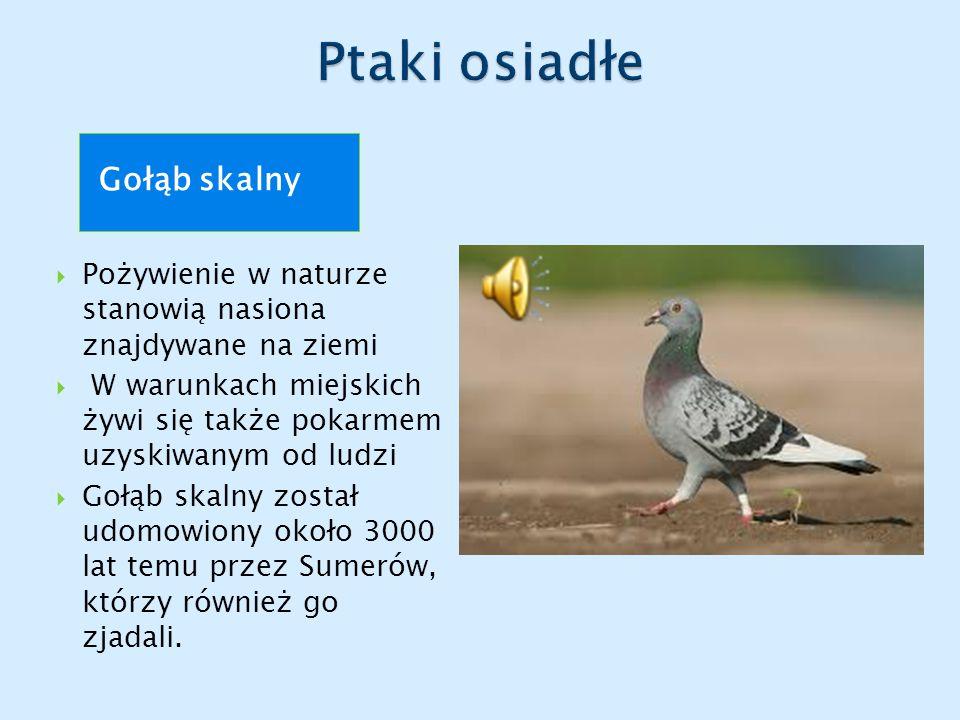 Ptaki osiadłe Gołąb skalny