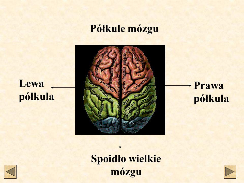 Półkule mózgu Lewa półkula Prawa półkula Spoidło wielkie mózgu