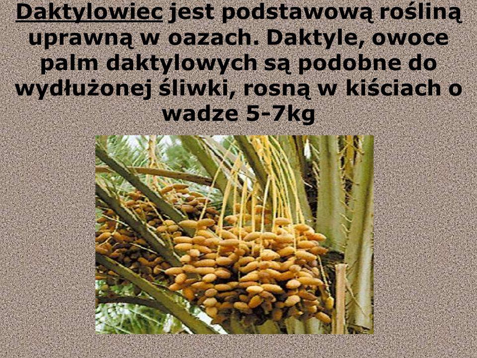 Daktylowiec jest podstawową rośliną uprawną w oazach