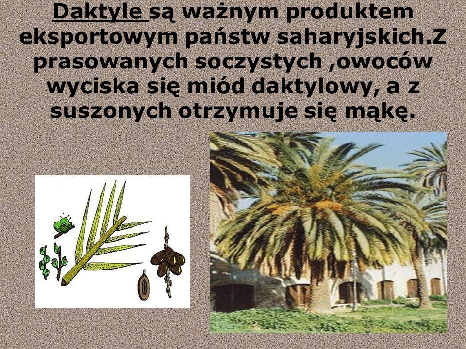 Daktyle są ważnym produktem eksportowym państw saharyjskich