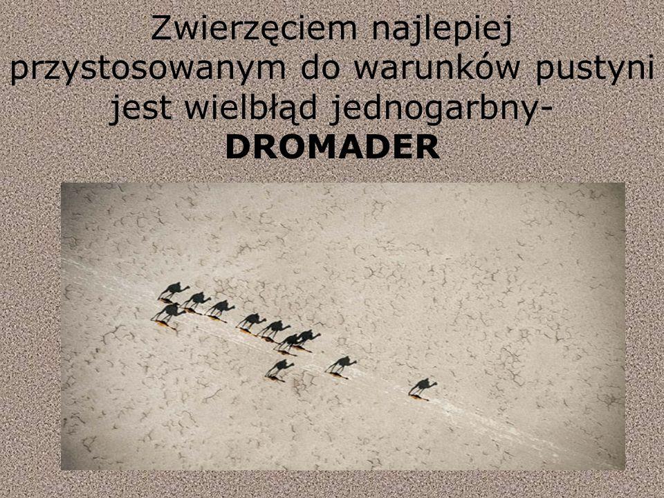 Zwierzęciem najlepiej przystosowanym do warunków pustyni jest wielbłąd jednogarbny-DROMADER