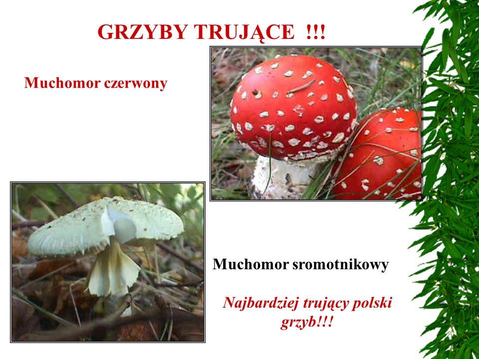 Najbardziej trujący polski grzyb!!!