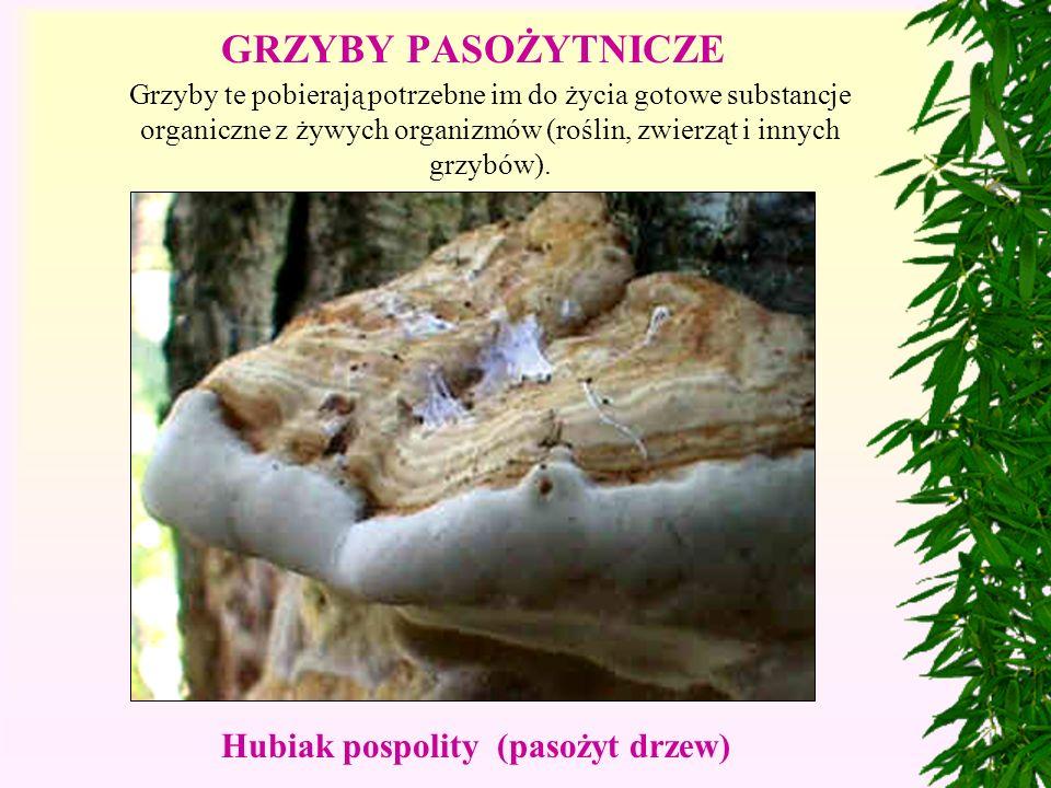 GRZYBY PASOŻYTNICZE Hubiak pospolity (pasożyt drzew)