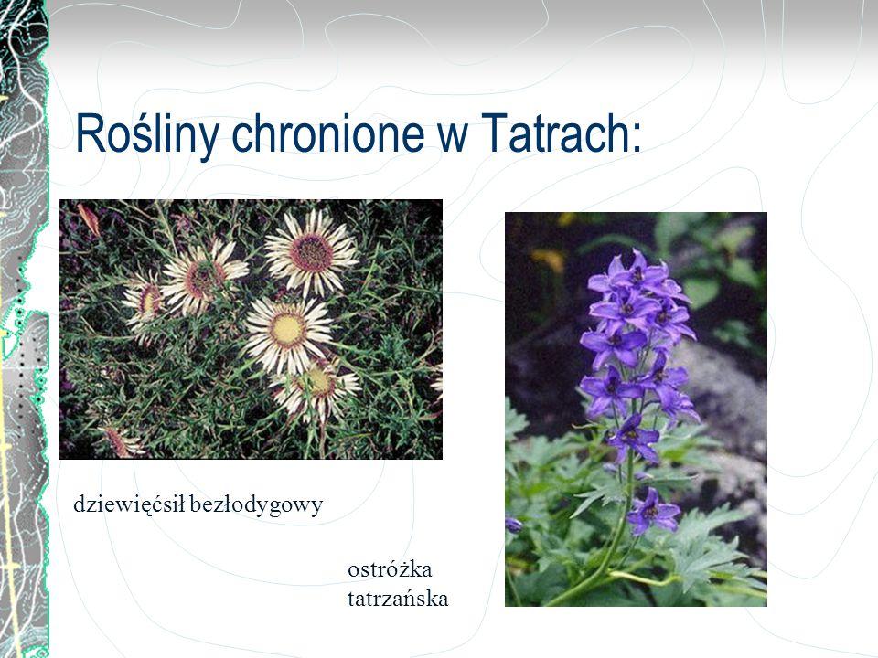 Rośliny chronione w Tatrach: