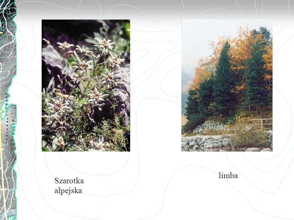 limba Szarotka alpejska