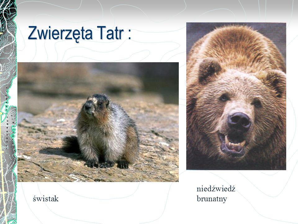 Zwierzęta Tatr : niedźwiedź brunatny świstak