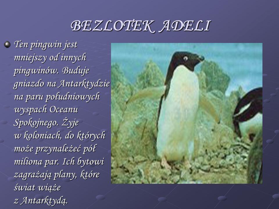 BEZLOTEK ADELI