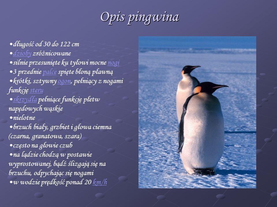 Opis pingwina długość od 30 do 122 cm dzioby zróżnicowane