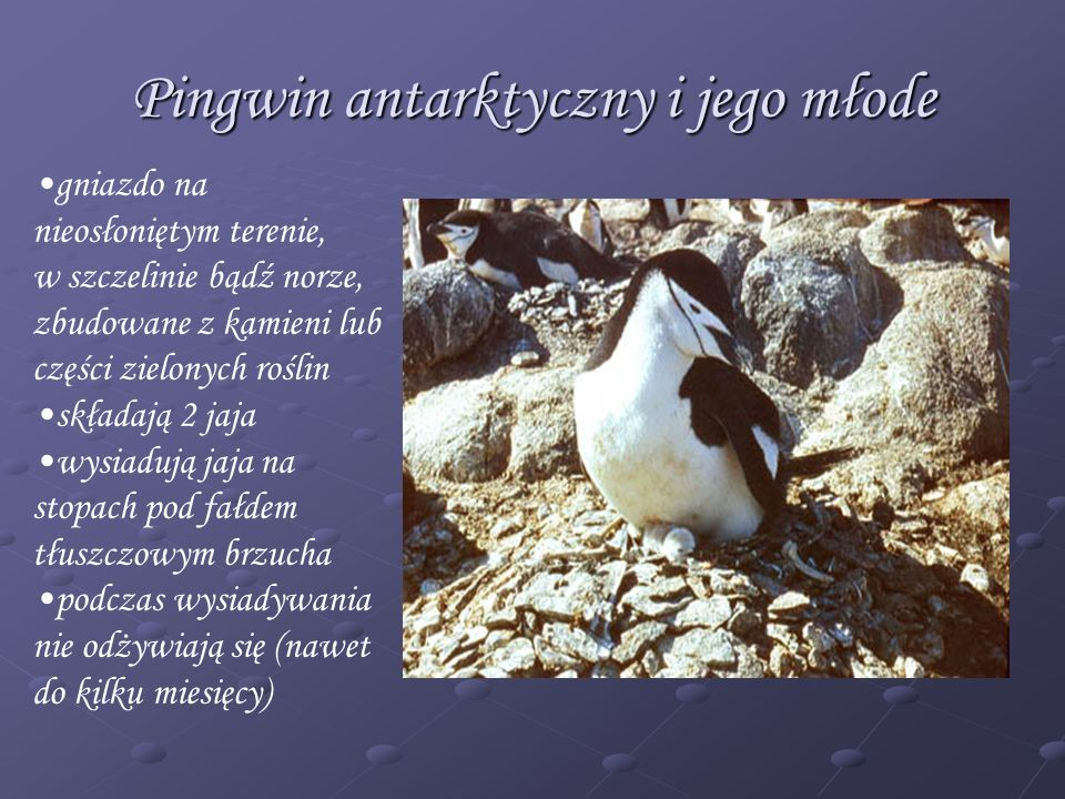 Pingwin antarktyczny i jego młode