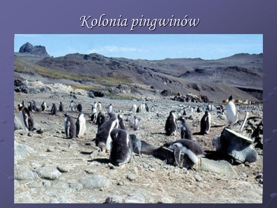 Kolonia pingwinów
