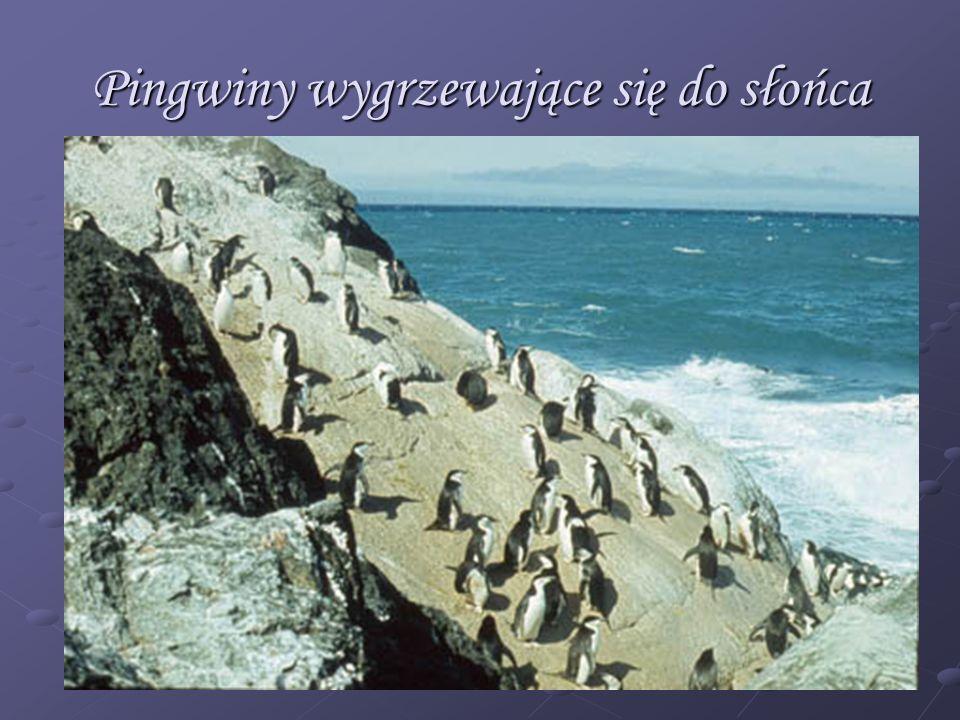 Pingwiny wygrzewające się do słońca