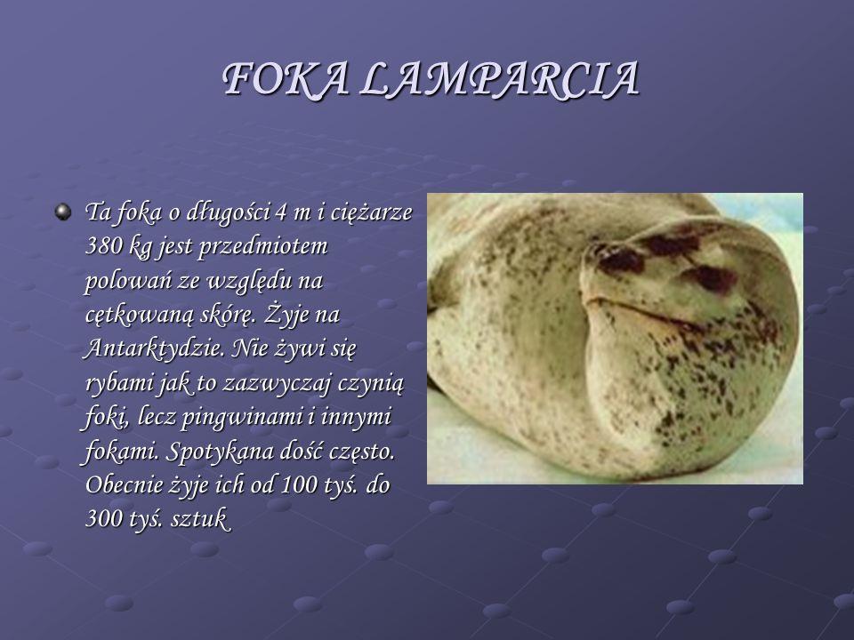 FOKA LAMPARCIA