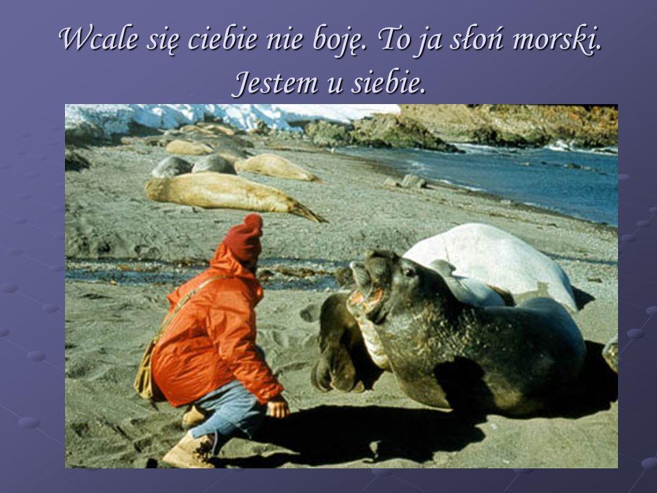 Wcale się ciebie nie boję. To ja słoń morski. Jestem u siebie.