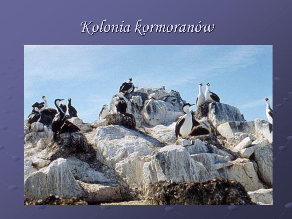Kolonia kormoranów
