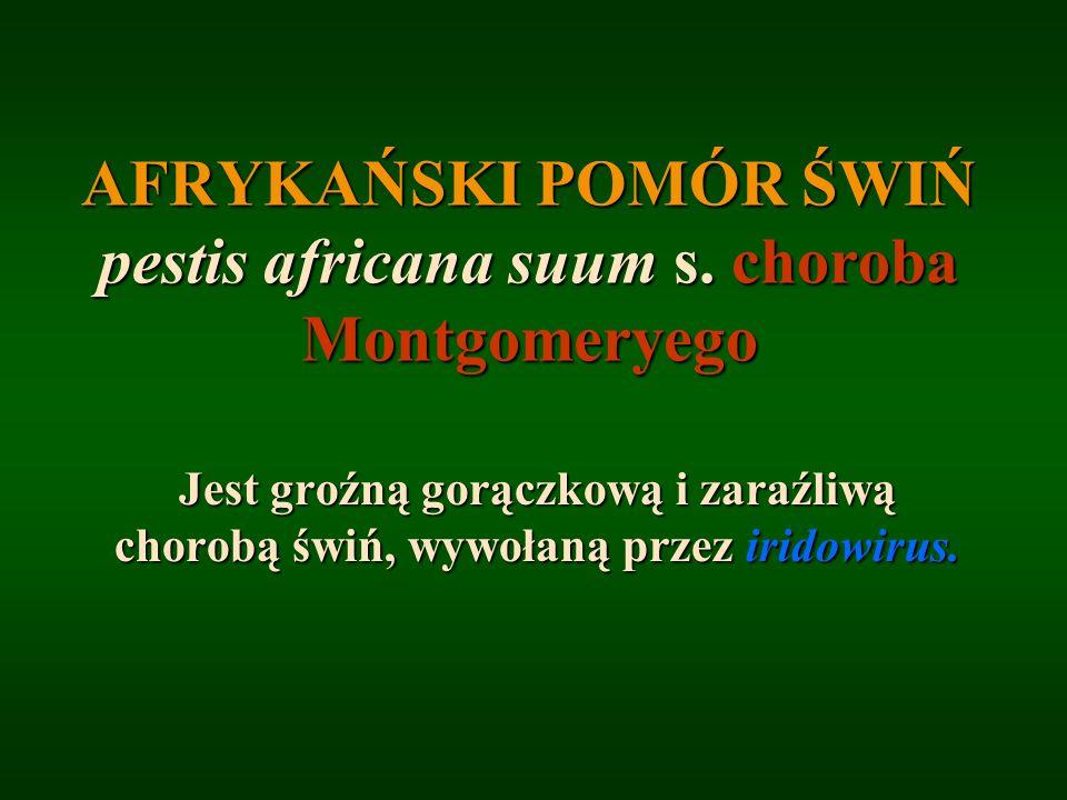 AFRYKAŃSKI POMÓR ŚWIŃ pestis africana suum s. choroba Montgomeryego