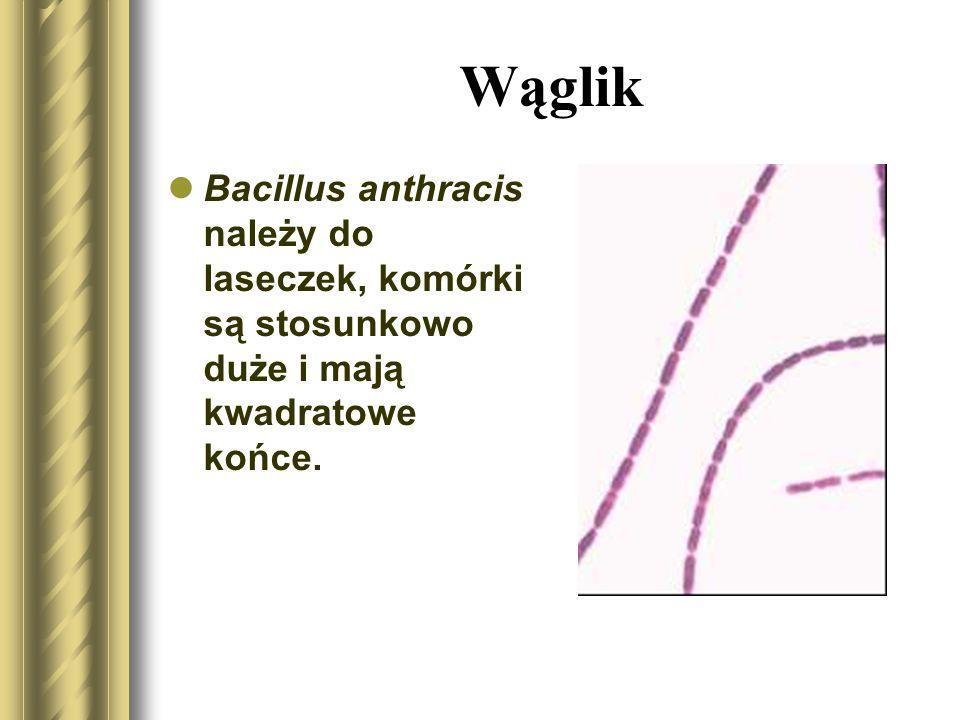 Wąglik Bacillus anthracis należy do laseczek, komórki są stosunkowo duże i mają kwadratowe końce.