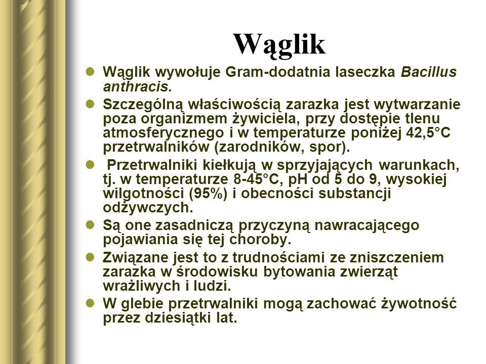 Wąglik Wąglik wywołuje Gram-dodatnia laseczka Bacillus anthracis.