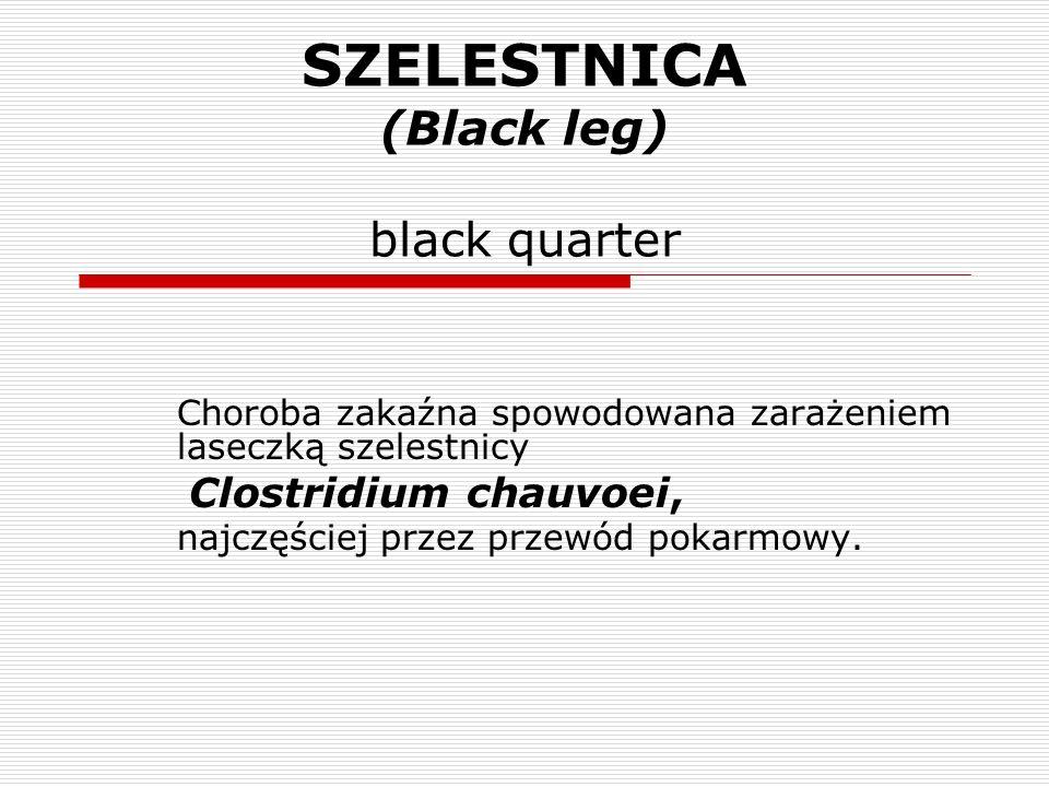 SZELESTNICA (Black leg) black quarter