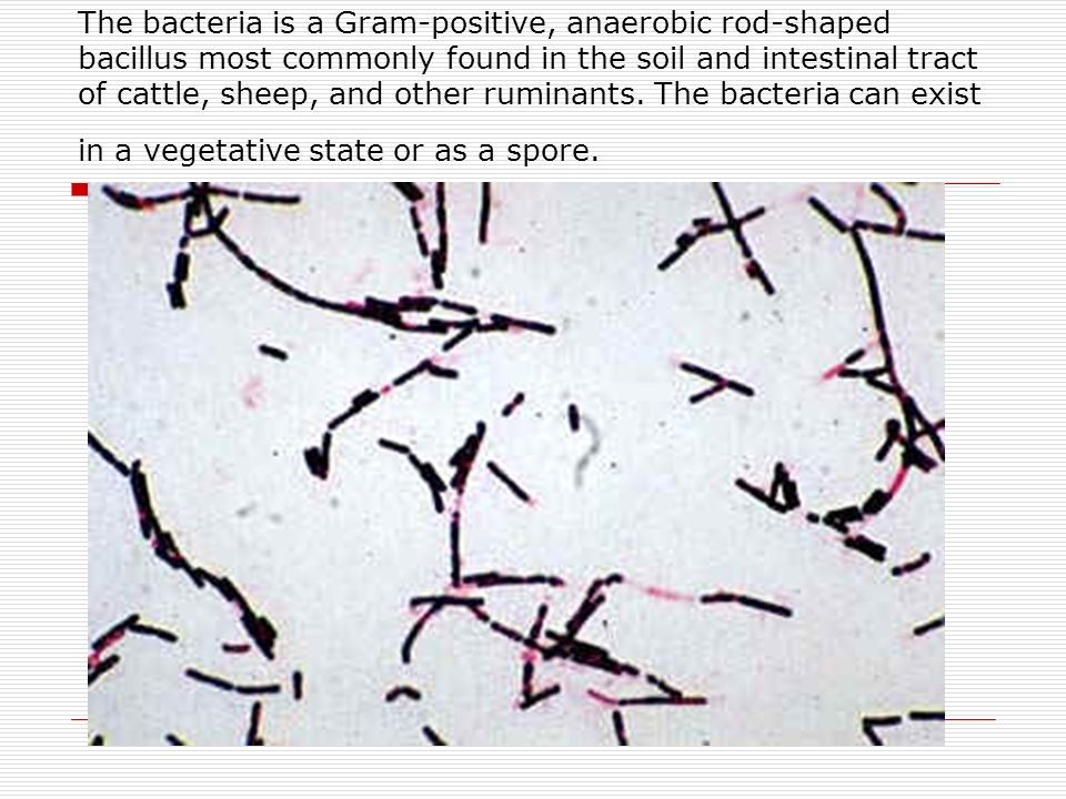 The bacteria is a Gram-positive, anaerobic rod-shaped bacillus most commonly found in the soil and intestinal tract of cattle, sheep, and other ruminants.