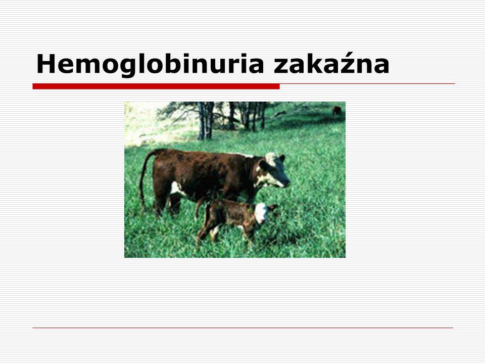 Hemoglobinuria zakaźna