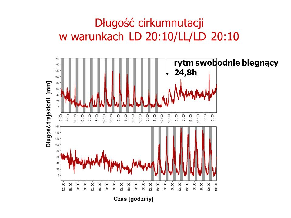 Długość cirkumnutacji w warunkach LD 20:10/LL/LD 20:10