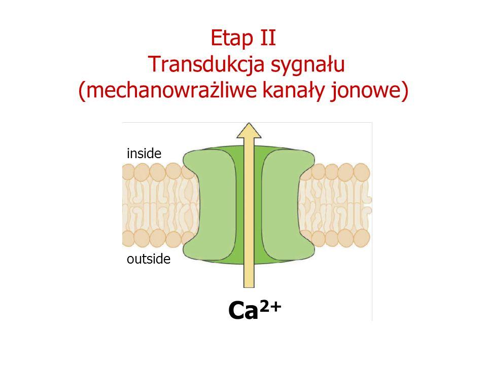 Etap II Transdukcja sygnału (mechanowrażliwe kanały jonowe)