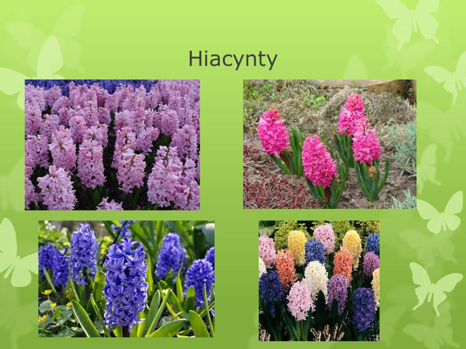 Hiacynty