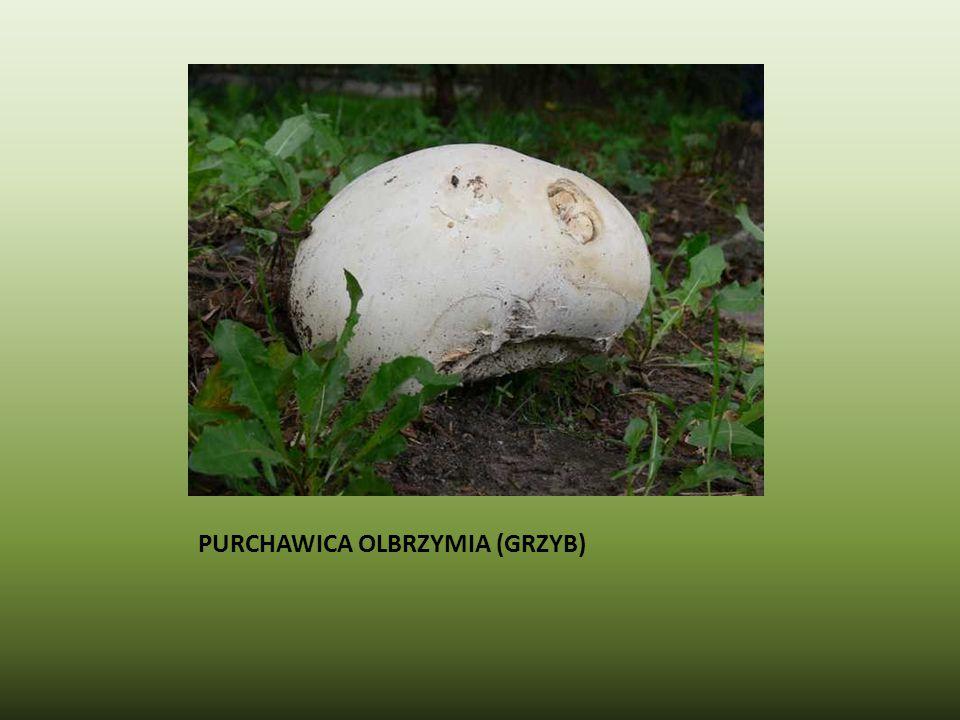 PURCHAWICA OLBRZYMIA (GRZYB)