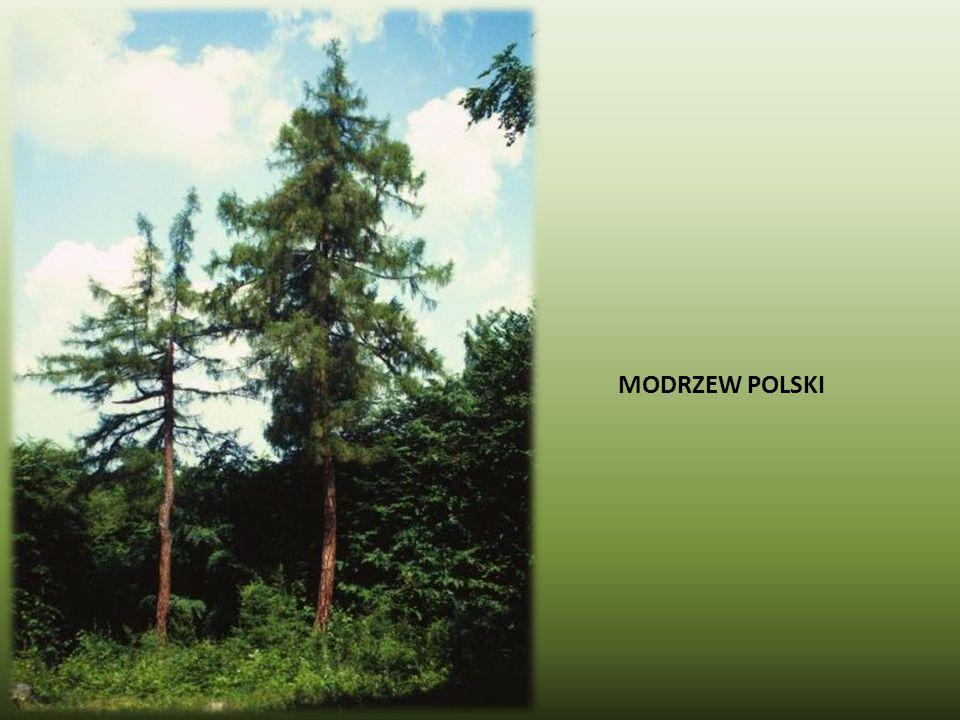 MODRZEW POLSKI