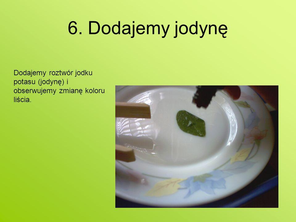 6. Dodajemy jodynę Dodajemy roztwór jodku potasu (jodynę) i obserwujemy zmianę koloru liścia.