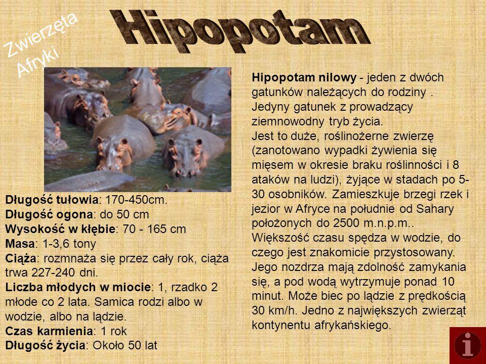 Hipopotam Hipopotam nilowy - jeden z dwóch gatunków należących do rodziny . Jedyny gatunek z prowadzący ziemnowodny tryb życia.