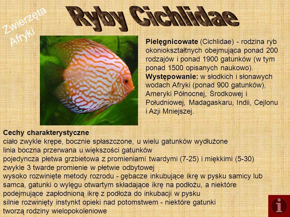 Ryby Cichlidae