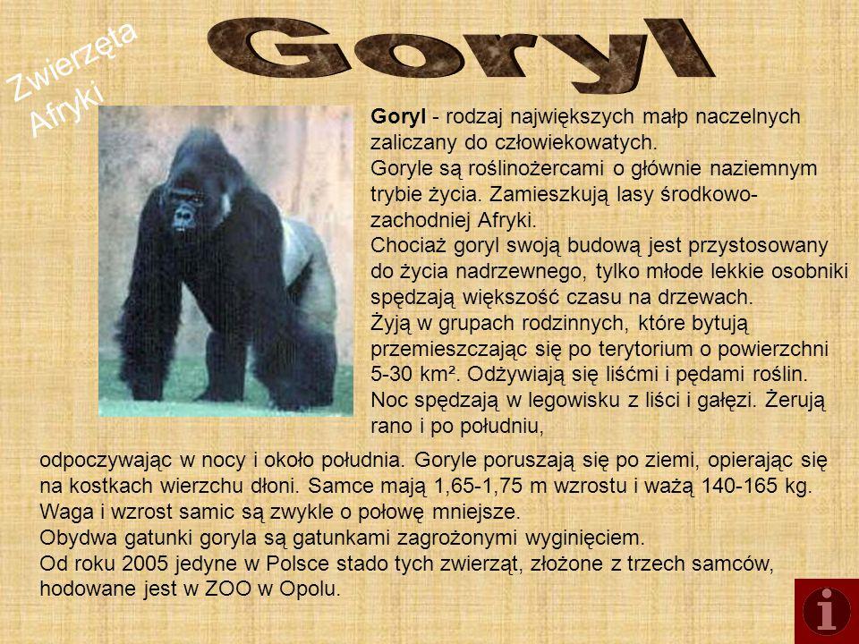 Goryl Goryl - rodzaj największych małp naczelnych zaliczany do człowiekowatych.
