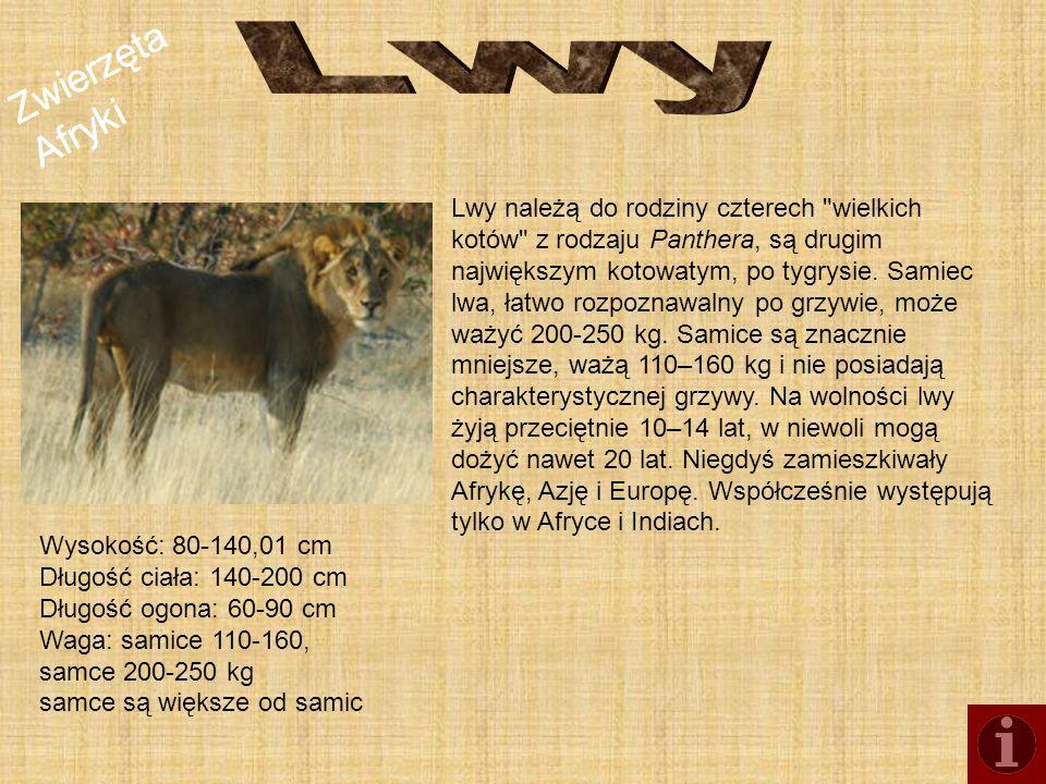 Lwy Zwierzęta Afryki.
