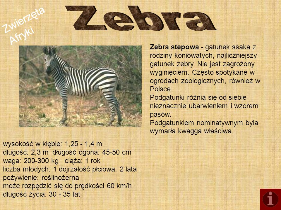 Zebra Zwierzęta Afryki