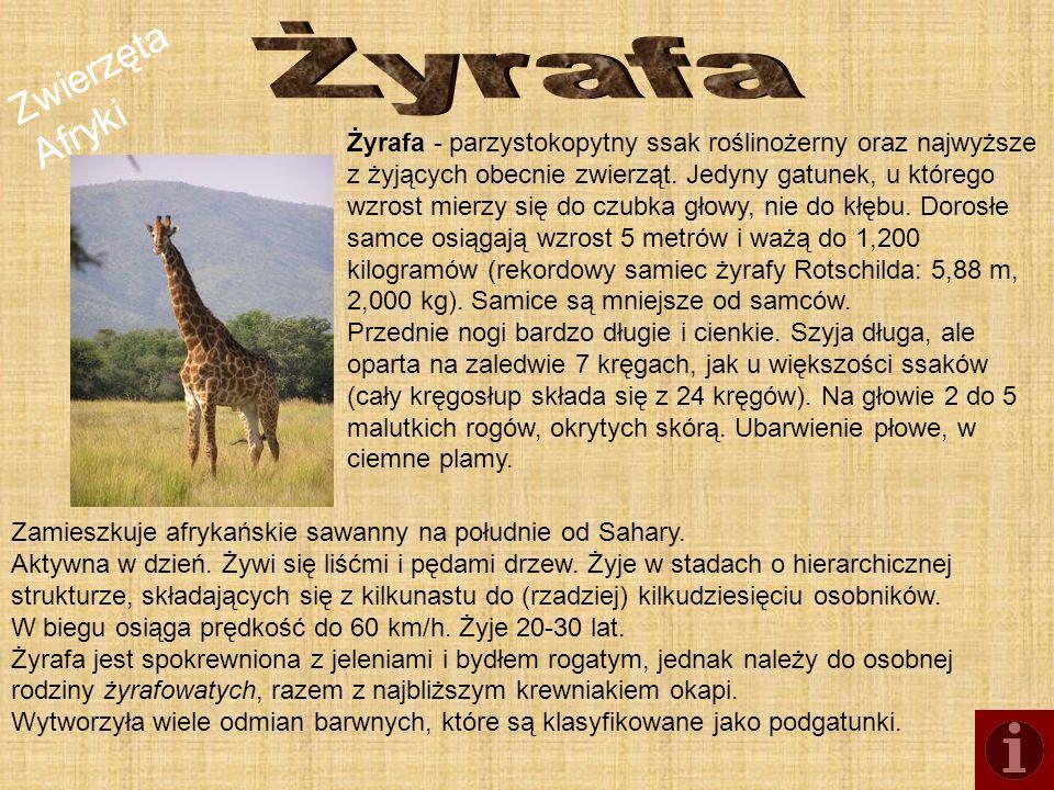 Żyrafa Zwierzęta Afryki