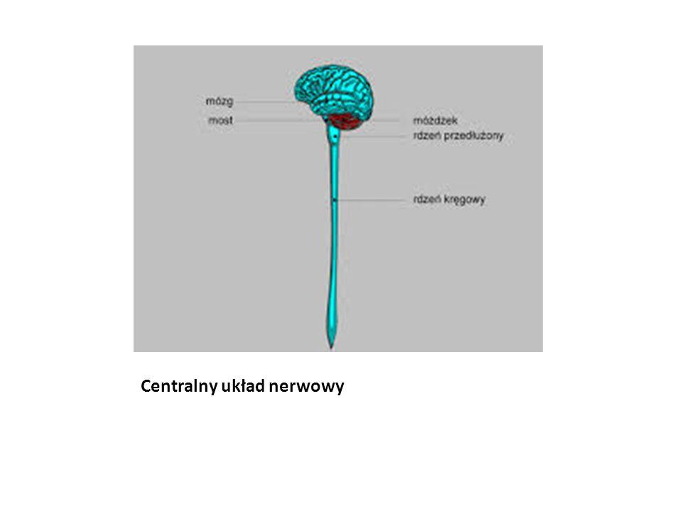 Centralny układ nerwowy
